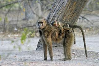 Steppenpavian (Papio cynocephalus) Mutter mit Babie auf dem Ruecken,  Moremi-Wildreservat, NP, Okavango Delta, Botsuana, Afrika, Yellow Baboon dam with baby on her back, Moremi Wildlife Reserve, National Park, Botswana, Africa