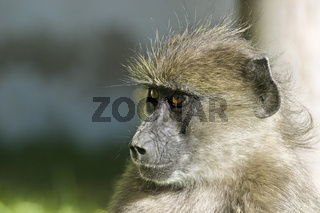 Junger Steppenpavian, Pavian (Papio cynocephalus), Namibia, Afrika, Young Yellow Baboon, Africa, Portrait