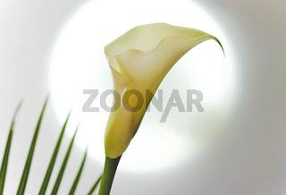 Blüte einer weißen Calla (Zantedeschia)