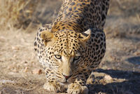 Namibia, Leopard