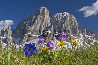 Bergblumen in den Dolomiten
