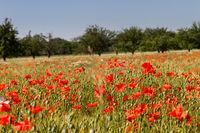 Mohnblumen im Getreidefeld 9