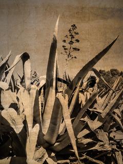 Agaven mit Blüte von unten gesehen im Vintage look