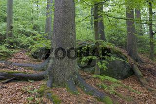 Fruehling im Bergmischwald, Nationalpark Bayerischer Wald, Spring in mixed forest, Bavarian forest national park