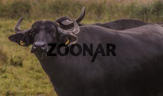 Asiatischer Wasserbüffel (Bubalus arnee)