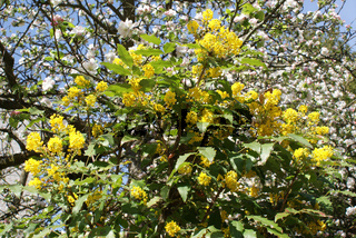 Mahonia aquifolium, Mahonie, oregon-grape
