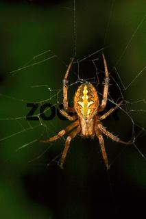 Orb-weaver spider, Araneidae , Aarey Milk Colony , INDIA