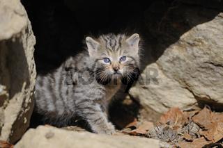 sehr junge Europaische Wildkatze, Felis silvestris, erkundet Umwelt vor ihrem Bau