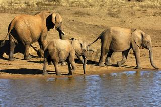 Herde Afrikanischer Elefanten an einer Wasserstelle