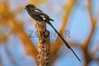Elsterwürger, Kruger NP, Südafrika, Magpie Shrike, Kruger NP, South Africa