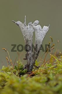 Geweihfoermige Holzkeule (Xylaria hypoxylon)