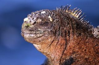 Galapagos Meerechse beim Sonnenbad