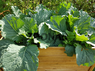 Hochbeet, Wirsing, Brassica oleracea var sabauda, Kohl,