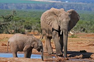 Elefanten am Wasserloch, Südafrika, elephants at a waterhole, south africa, Loxodonta africana