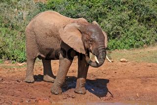 Afrikanischer Elefant, Addo Elephant Park