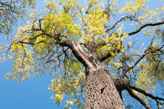 Alter Walnussbaum (Juglans nigra)