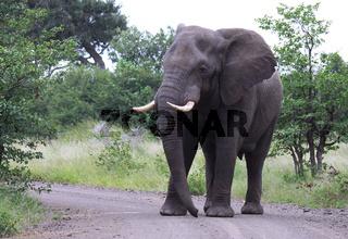 Elefant, Südafrika; african elephant, south africa, wildlife