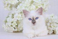 HEILIGE BIRMA KATZE, BIRMAKATZE, SACRED CAT OF BIRMA, BIRMAN CAT, BLUEPOINT, KITTEN,