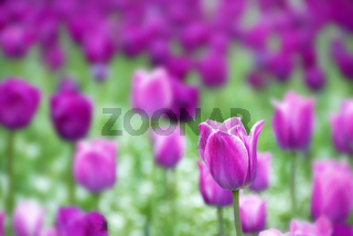 Purple tulips background