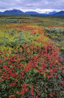 Tundralandschaft mit Zwergbirken und Alaskakette im Herbst / Denali Nationalpark  -  Alaska