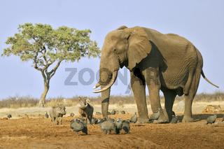 Afrikanischer Elefanten Bulle (Loxodonta africana) mit Warzenschweinen, Savuti, Chobe National Park, Botswana, Afrika, bull African Elephant with wart hogs, Africa