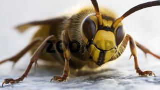 Hornisse Hornet