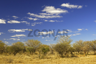 Afrikanische Savannenlandschaft mit Akazien