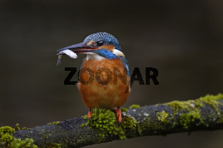 Eisvogel, Alcedo atthis, common kingfisher