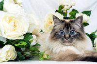 HEILIGE BIRMA KATZE, BIRMAKATZE, SACRED CAT OF BIRMA, BIRMAN CAT, ADULT,