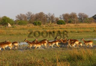 Ein Rudel fliehender Roter Lechwes (Kobus leche) am Rande eines Sumpfgebietes