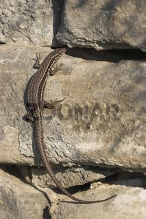 Mauereidechse, Podarcis muralis, common Wall lizard, European wall lizard
