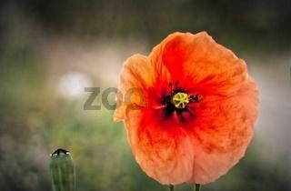 Einzelne Rote Klatschmonblüte