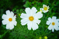 White cosmos genus plant flowers with green backrounds