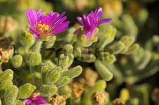 Drosanthemum hispidum, Namakwaland, Südafrika