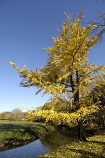 Herbstlicher Ginkgo-Baum (Ginkgo biloba)