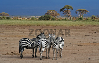 Zebras im Amboseli-Nationalpark in Kenia