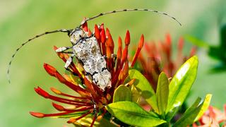 Loaghorn Käfer