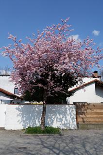 Prunus subhirtella Accolade, Fruehe Zierkirsche, Flowering Cherry