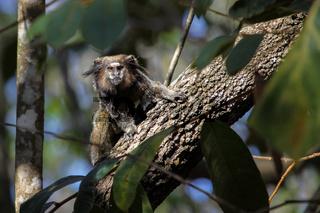 Black tailed marmoset sitting on a tree trunk, facing, Chapada Diamantina, Brazil