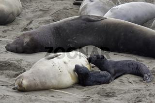 Northern Elephant Seal with Baby, Noerdlicher See-Elefant mit Baby, Mirounga angustirostris, San Semion, Kalifornien, California, USA
