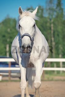 portrait of walking Lipizzaner horse in manege
