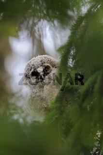 Blick durch's Guckloch... Waldohreule *Asio otus*, Jungvogel schaut durch ein Loch im Geäst