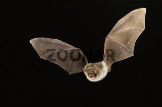 Fransenfledermaus, (Myotis nattereri), Natterer's Bat