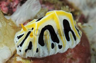 Reticulidia fungia, Warzenschnecke