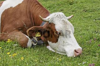 Portrait einer Kuh