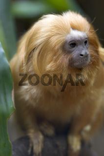 Goldgelbes Loewenaeffchen, Leontopithecus rosalia, Golden lion tamarin