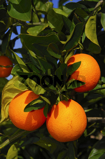 Reife Orangen am Baum, Citrusdal, Südafrika