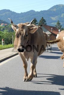 Kuh bei Viehtrieb