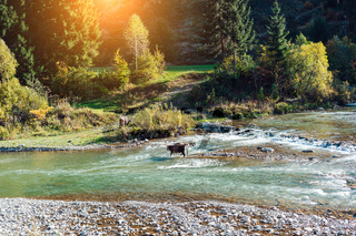 Cow crossed the river