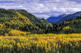 Zitterpappeln im Herbst vor der Alaskakette / Denali Nationalpark  -  Alaska